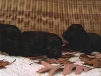 Hunters Rest Puppies